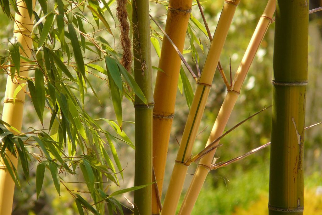 Home-grown bamboo in gardens