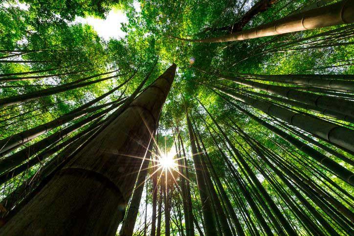 Mosu bamboo