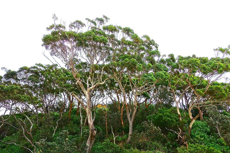 eucalyptustrees