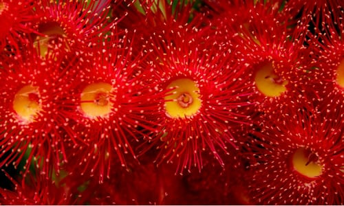 ecualyptus trees have flowers with stamens only