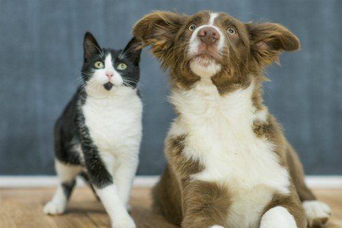 dog and cat interested in pet-friendly-home-renovation-ideas