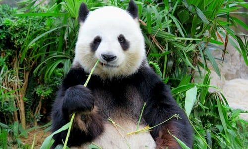 panda-eating-bamboo-not-used-for-floor