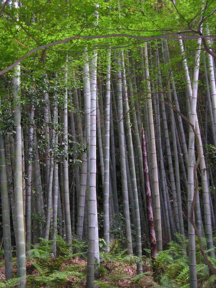 incredible Bamboo plant