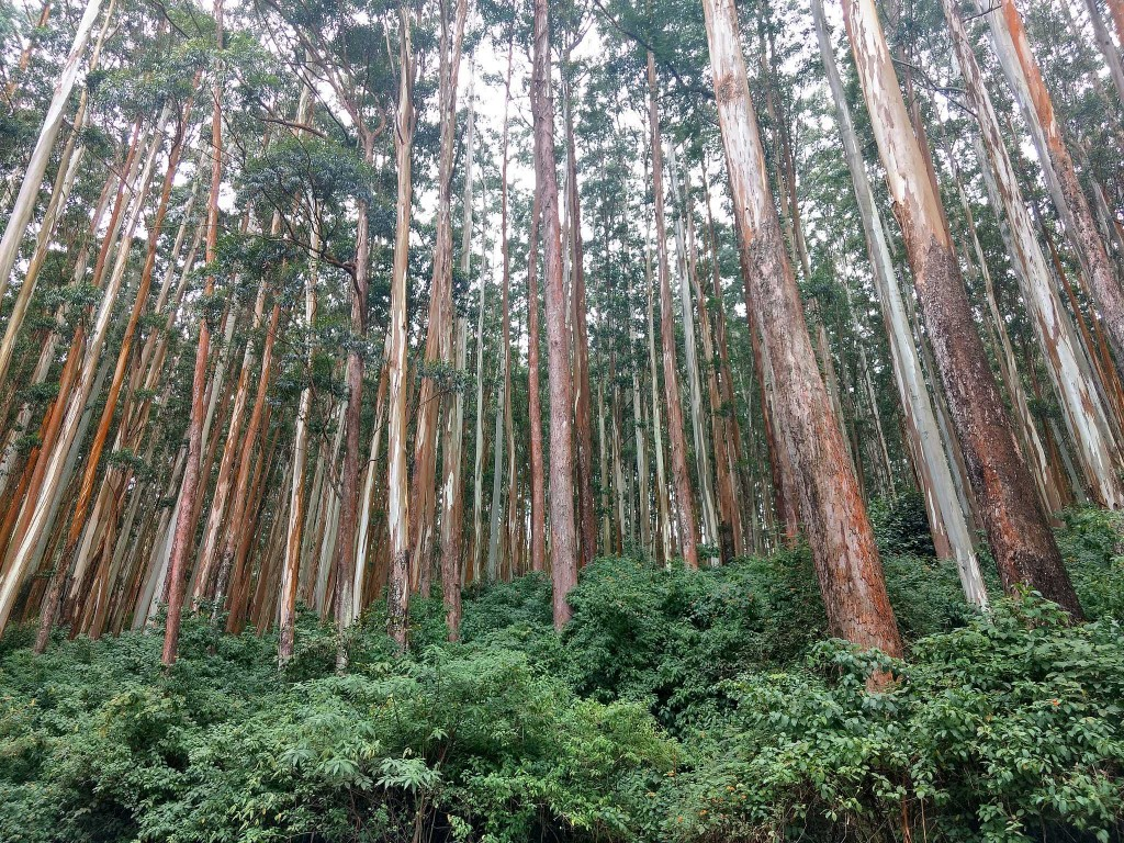 Sustainable Eucalyptus Plantation