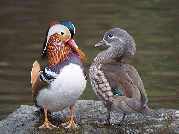 Ask the Mandarin ducks - Subtle differences make all the difference