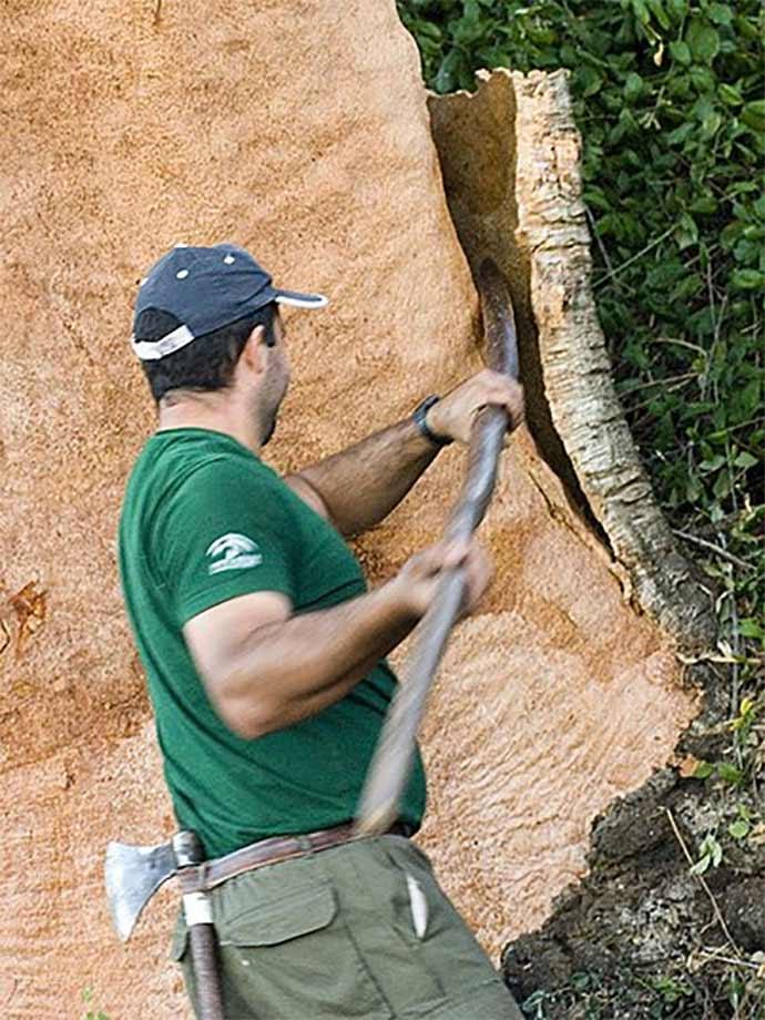 Harvest a cork oak tree
