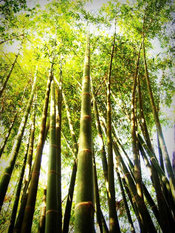 bamboo forest in sunlight
