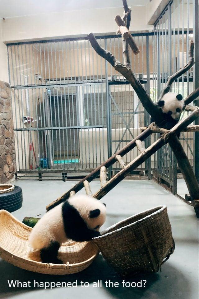 panda-looking-for-food